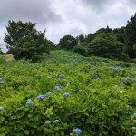 【6/27(日)は入園無料】18000株のアジサイが見頃を迎える「国営越後丘陵公園」でアジサイ・バラ・アサザの花巡りをしてきましたの画像18