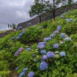 【6/27(日)は入園無料】18000株のアジサイが見頃を迎える「国営越後丘陵公園」でアジサイ・バラ・アサザの花巡りをしてきましたの画像20