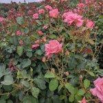 【6/27(日)は入園無料】18000株のアジサイが見頃を迎える「国営越後丘陵公園」でアジサイ・バラ・アサザの花巡りをしてきましたの画像3