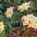 【6/27(日)は入園無料】18000株のアジサイが見頃を迎える「国営越後丘陵公園」でアジサイ・バラ・アサザの花巡りをしてきましたの画像4