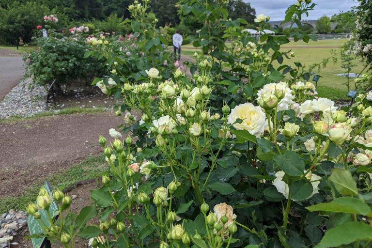 【6/27(日)は入園無料】18000株のアジサイが見頃を迎える「国営越後丘陵公園」でアジサイ・バラ・アサザの花巡りをしてきましたの画像5