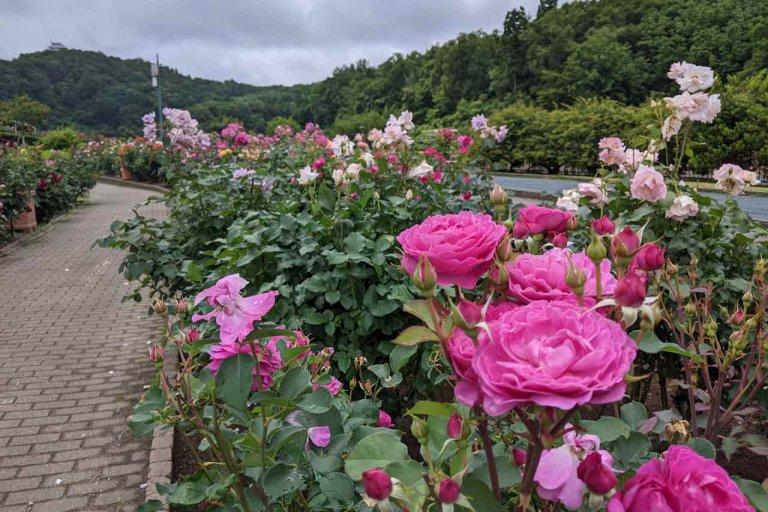 【6/27(日)は入園無料】18000株のアジサイが見頃を迎える「国営越後丘陵公園」でアジサイ・バラ・アサザの花巡りをしてきましたの画像6
