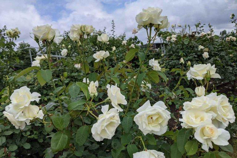 【6/27(日)は入園無料】18000株のアジサイが見頃を迎える「国営越後丘陵公園」でアジサイ・バラ・アサザの花巡りをしてきましたの画像7