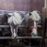 注目を集める「引退馬の養老牧場」。胎内市「松原ステーブルス」の無料牧場見学でかわいい馬たちに癒されてきました。の画像7