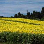 【見頃!】山本山ひまわり畑(小千谷市) 一面に咲くヒマワリが見事のメイン画像