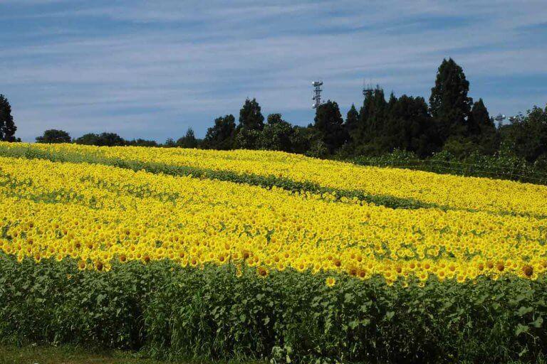 【見頃!】山本山ひまわり畑(小千谷市) 一面に咲くヒマワリが見事