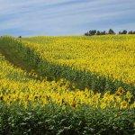【見頃!】山本山ひまわり畑(小千谷市) 一面に咲くヒマワリが見事の画像2